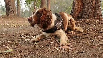 Šunytė gelbėja Australijos gaisruose sužeistas koalas