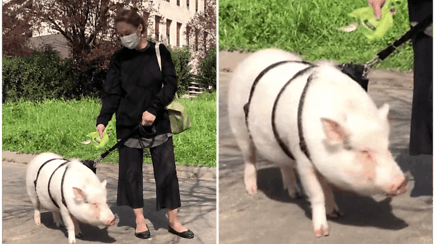 Dėl karantino nesidžiaugia ir neįprasta augintinė – kiaulaitė Dior