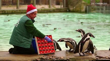 Pamatykite, kaip pingvinai laukia švenčių: zoologijos sode lukšteno advento kalendorių