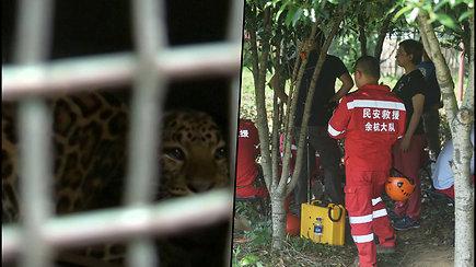 Iš Kinijos safario parko paspruko 3 leopardai – gyventojai vieną iš jų matė laisvėje