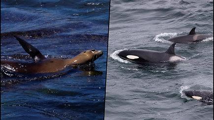 Dešimtys persigandusių ruonių bandė įlipti į žvejų laivą – slėpėsi nuo banginių žudikų