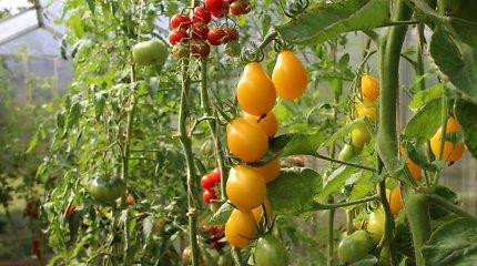 L.Liubertaitė pataria: kaip auginti pomidorus lauke ir šiltnamyje, kad sulauktume gausaus derliaus