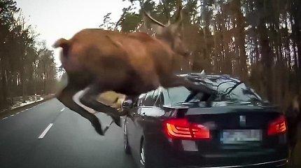 Reikia stiprių nervų: BMW tapo kliūtimi laukinių elnių bandai, bandžiusiai perbėgti kelią