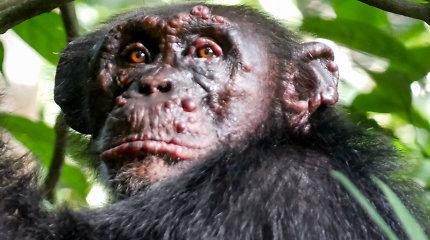 Pirmą kartą aptikta raupsais serganti šimpanzė, infekcijos šaltinis nežinomas
