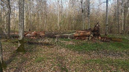 Vėjo neatlaikė vienas seniausių ir storiausių Lietuvos ąžuolų
