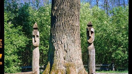 Parodoje – Lietuvą ir Tasmaniją jungiantis ryšys su medžiais