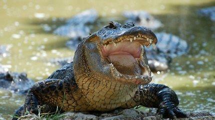 Australijoje gelbėtojai rado krokodilo sudraskyto 12 metų berniuko palaikus