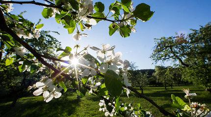 Kaip vaismedžius ir kitus augalus apsaugoti nuo šalnų? Agronomo patarimai