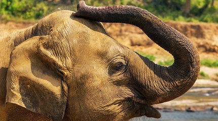 Šri Lankoje pradėtas tyrimas dėl budistų šventėje dalyvavusio išsekusio dramblio