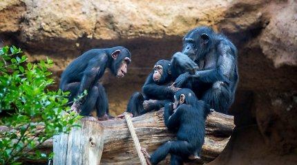Siera Leonėje tarp šimpanzių plinta naujas užkratas: mirtingumas – 100 procentų