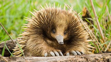 Susipažinkite – keisčiausi Australijos gyvūnai