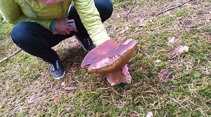 Antanavo miške baravyką-milžiną galima rasti ir lapkritį