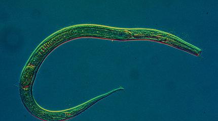Mokslininkai rado būdą pailginti kirminų gyvenimą 6 kartus ir jau žvalgosi į žmones