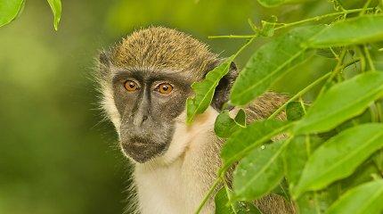 Eksperimentai su beždžionėmis suteikė užuominų apie kalbos kilmę