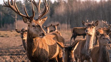 """Šeima prie Kernavės ežero įkūrė elnių rojų, tačiau banda metus slėpėsi miške: """"Tai gyvūnai, kurie hipnotizuoja ir dovanoja ramybę"""""""