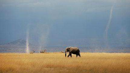 CITES nusprendė beveik visiškai uždrausti laukinių dramblių perkėlimą į zoologijos sodus