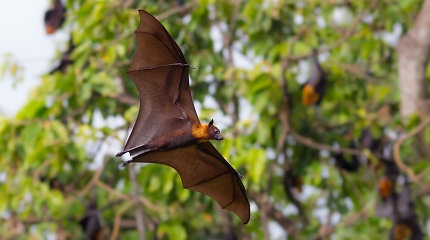 Šikšnosparnių jaunikliai tarpusavyje šneka taip pat, kaip žmonės