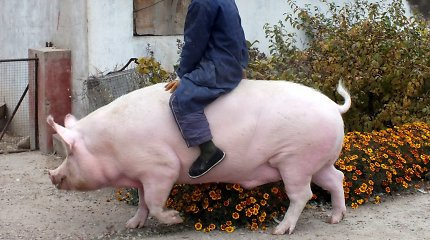 Dėl kiaulienos trūkumo kinai išveisė baltųjų lokių dydžio paršus