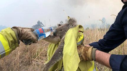 Gaisrai Australijoje pražudė tūkstančius koalų – sunaikinta 30 proc. jų buveinių