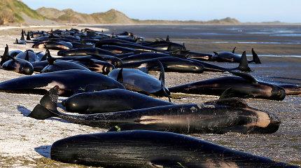 Kodėl Naujosios Zelandijos paplūdimys kasmet virsta delfinų kapinėmis?