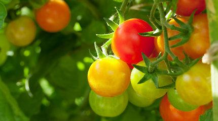 Pomidorų sodinimas šiltnamyje: tinklaraštininkės L.Liubertaitės patarimai