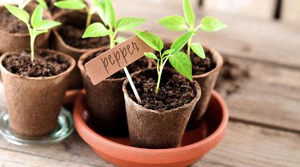 """Daržas ant palangės: ką ir kaip auginti namuose? """"Garden stories"""" tinklaraštininkės patarimai"""