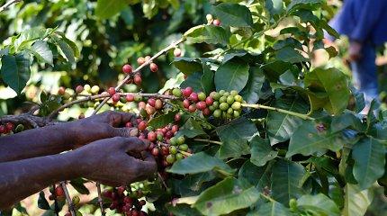 Darbo kavos ūkyje Kenijoje kasdienybė – iš arti