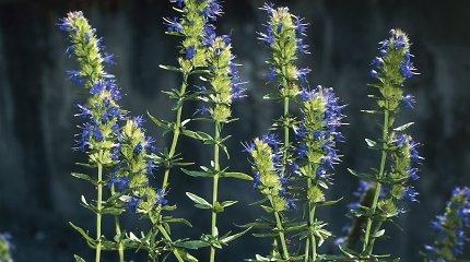 """""""100 augalų"""" savaitės apžvalga: kokius ryškiaspalvius žiedus siūlo L.Liubertaitė?"""