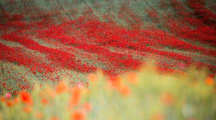 Raudonoji aguonų pieva netoli Trakų