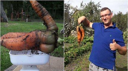 Tomo ir Linos ūkyje užaugo pagarbos verta morka: sveria daugiau nei 1,2 kg