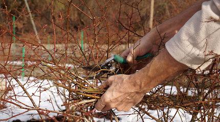 L.Liubertaitė pataria: kaip genėti, balinti medžius ir tinkamai pasirūpinti krūmais