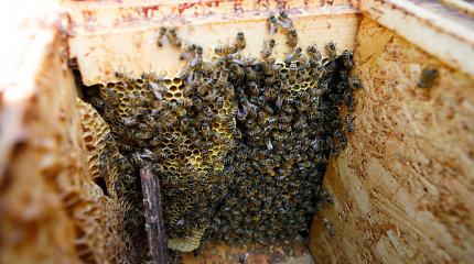 Iš miško Kretingos rajone pavogti koriai su bičių motinėlėmis