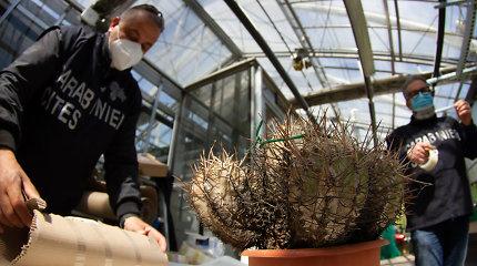 Iš dykumų vagia kaktusus: kainos siekia milijonus, o jų geidžiančių netrūksta