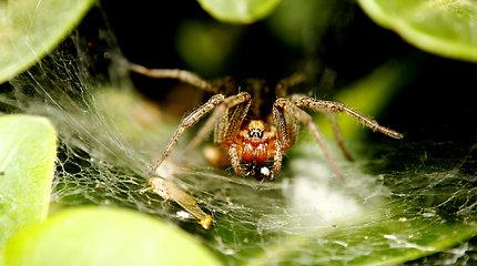 Mirtini vorų nuodai gali tapti gyvybę gelbstinčiu vaistu infarkto aukoms