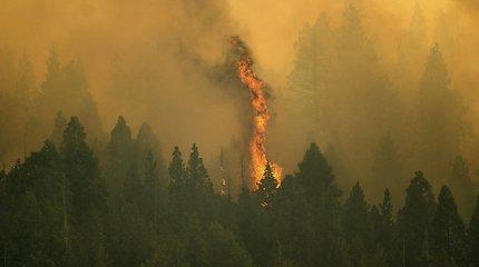 Nuo siaučiančių gaisrų slepiamas didžiausias pasaulio medis: kamienas dangstomas aliuminiu