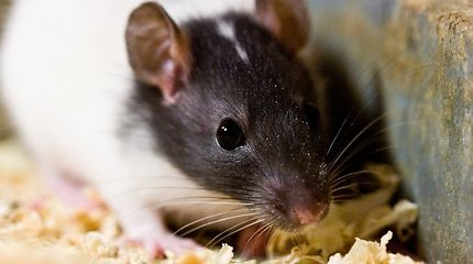 """Japonijos mokslininkai išveisė """"čiulbančias peles"""""""