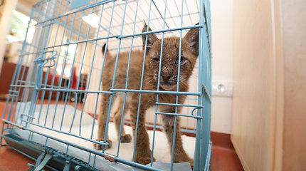 Kauno gyvūnų priežiūros centre – lūšiukas
