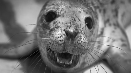 Jūrų muziejuje slaugomi net 14 ruoniukų