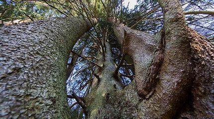 Raganų eglė – vienas įspūdingiausių medžių ne tik Lietuvoje, bet ir Europoje