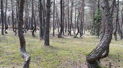 """""""Šokantis miškas"""" Kaliningrade"""