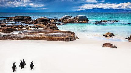 PAR paplūdimyje gyvenantys pingvinai