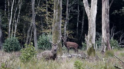 Padauguvos miške elnių ruja vyksta visu smarkumu