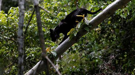 Bėgdami nuo žmonių jaguarai Brazilijoje prisitaikė gyventi užliejamų džiunglių medžių viršūnėse