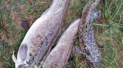 Žvejas Žilvinas vėgėlių žvejyboje
