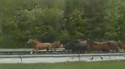 Nustebino reginys magistraliniame kelyje – tarp mašinų bėgo kelios dešimtys žirgų