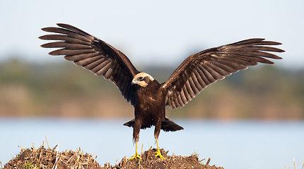 Pamatykite vandens paukščių sankaupą Sausgalviuose
