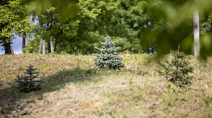 Eglutė Kalėdų miškui perkama vasarą