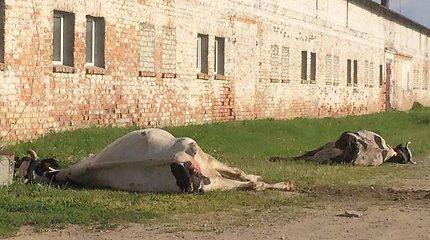 Gaišenų detektyvas: Skaisčiūnuose dvi kritusios karvės gulėjo prie gyvulių supirkimo punkto