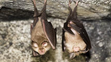 Laoso šikšnosparniuose aptikti koronavirusai – net 96,8 proc. identiški SARS-CoV-2