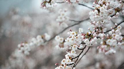 Japonijoje dėl klimato kaitos – pats ankstyviausias sakurų žydėjimo sezonas